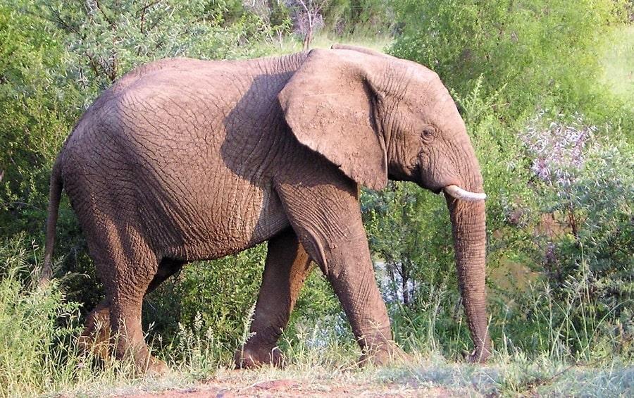 Krueger Park Afrika Elefant